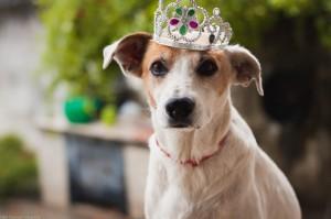 Cão de guarda para apartamento, Raças de cães para proteger o apartamento, Raças de grande porte ideal para apartamento