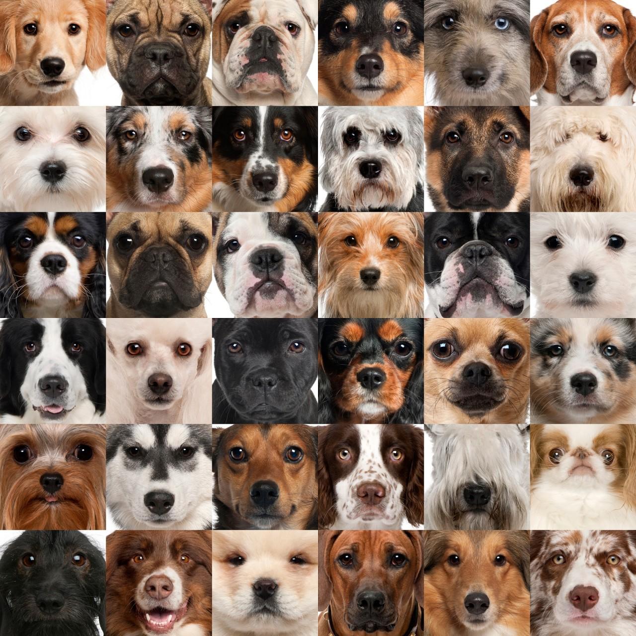 Raça com porte pequeno para apartamento,  Raças mais populares de cães para apartamento, Raças de cães pequenas para crianças