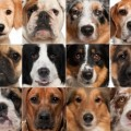 Dog-breeds-for-apartments-300x223