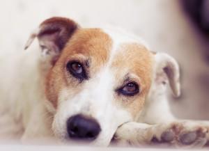 Melhor cão para apartamento,    Regras e instruções para ter um cachorro em um apartamento, Responsabilidade em ter um cachorro na família