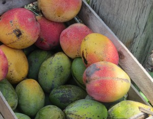 Mango-benefits-and-harms