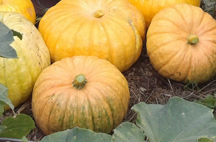 Benefits-and-harms-of-pumpkin-juice