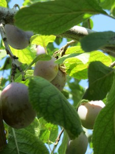 Benefits-and-harms-of-plums-225x300