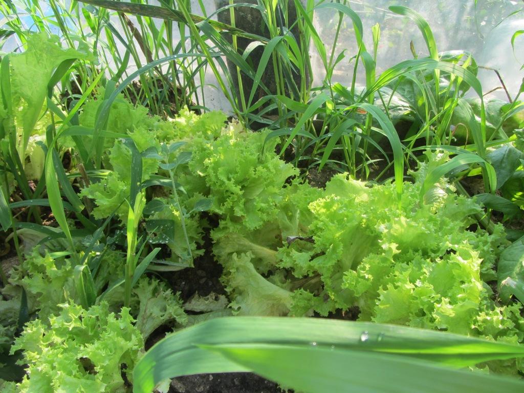 Verduras para fins medicinais, Antibiótico natural, Verdura para a normalização do intestino
