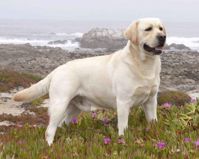O que mais você precisa saber sobre os Labradores, Pug para crianças, Características e cuidados com um Pug