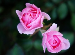 roses-22802_640